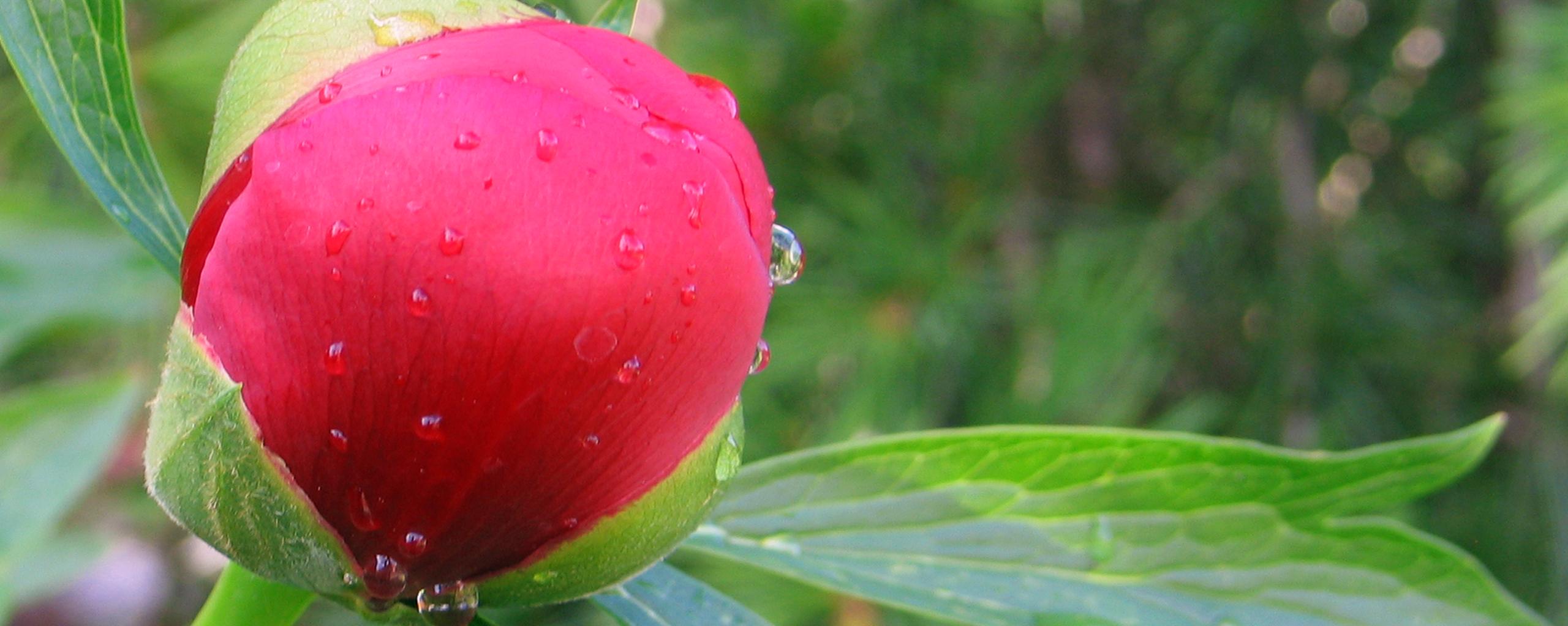 Rose Bud by Mossblaser