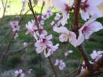 Sakura Flowers by yunamoogle
