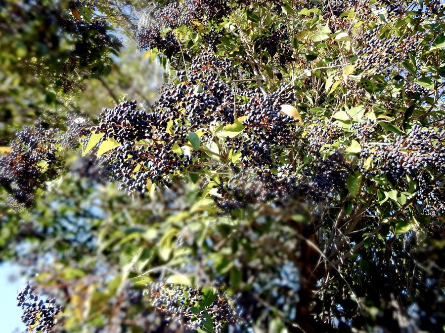 blueberry treeyunamoogle on deviantart