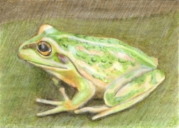 Frog ACEO by jniemin