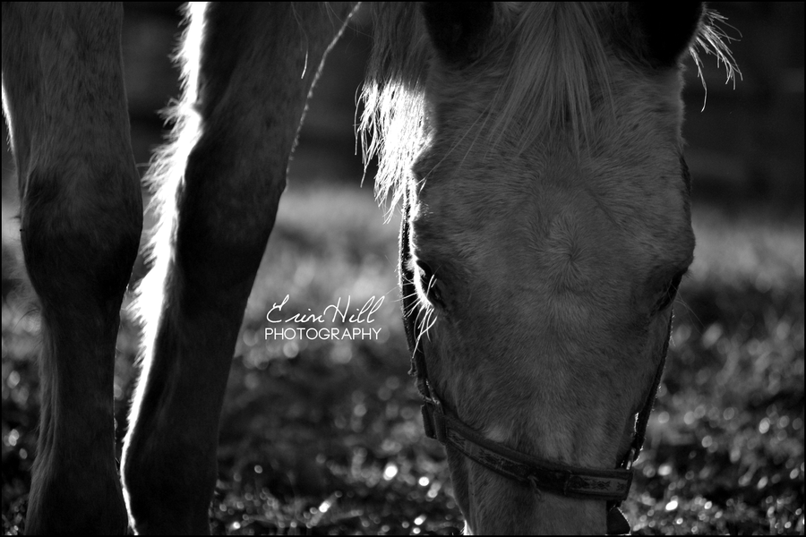 Appaloosa Shining by HighVibeCreative