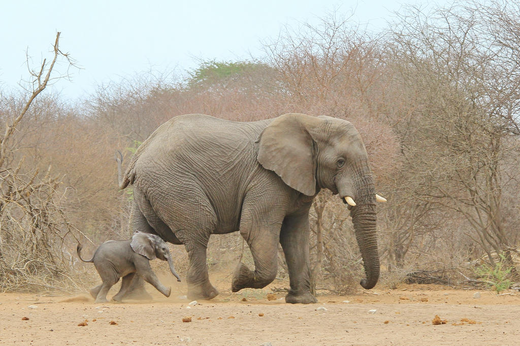 Elephant - African Wildlife - In Dad's Steps by LivingWild