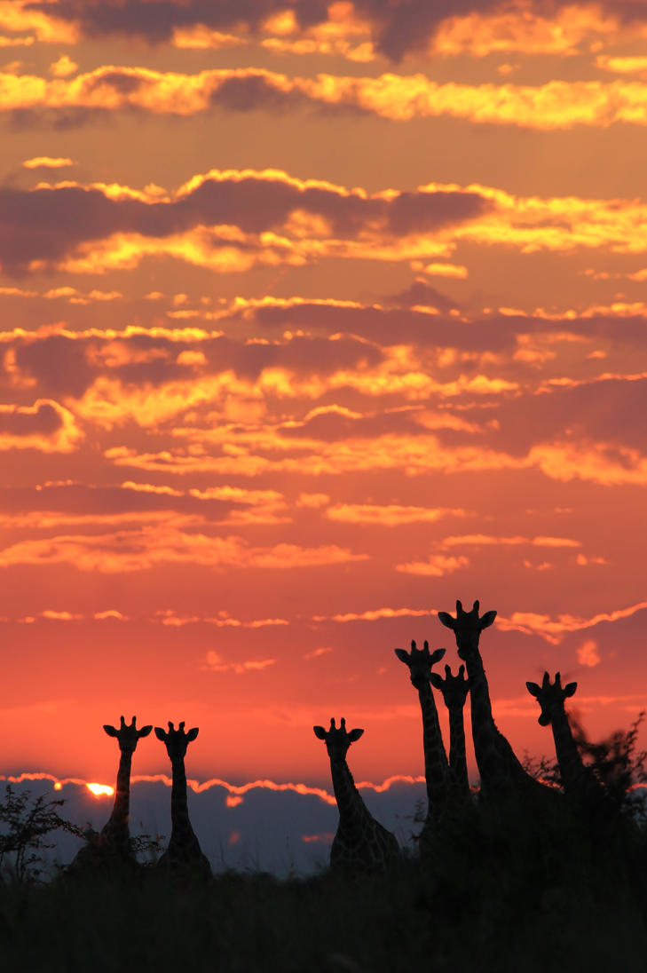 Giraffe - African Wildlife - Silhouette of Color by LivingWild