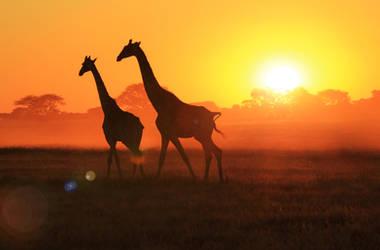Giraffe - African Wildlife - Sunset Flare by LivingWild