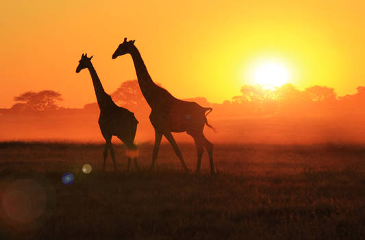 Giraffe - African Wildlife - Sunset Flare