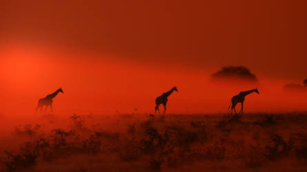 Giraffe - African Wildlife - Out of the Dust by LivingWild