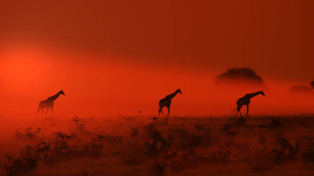 Giraffe - African Wildlife - Out of the Dust