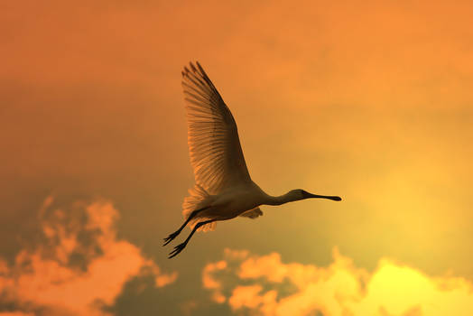Spoonbill Stork - Wild Birds - Flying Gold
