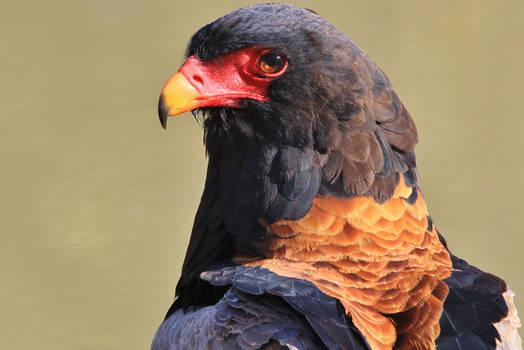 Bateleur Eagle - Portrait of Pride and Beauty