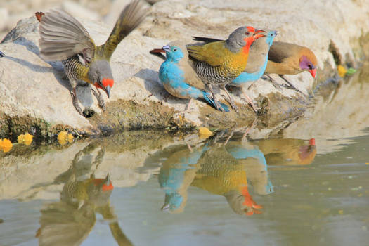 Melba Finch, Violet and Blue Waxbill - Colors