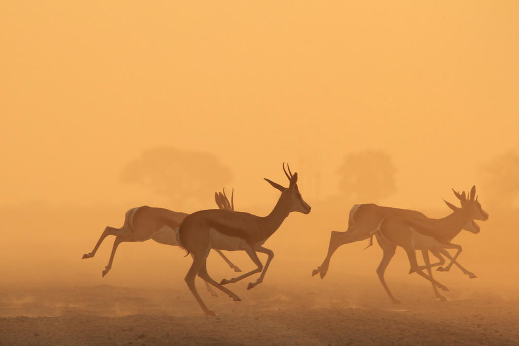 Springbok Sunset - Golden African Wildlife by LivingWild