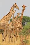 Giraffe - Shapes, Sizes and Natural Patterns