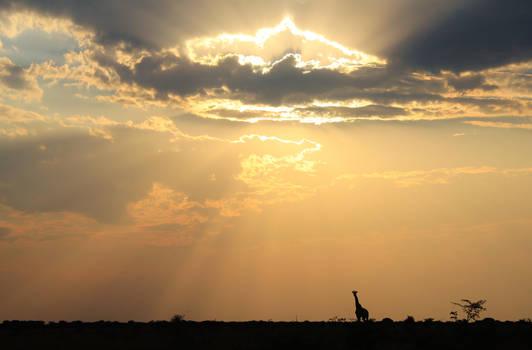 Giraffe - African Wildlife - Wanderer of Sky Light