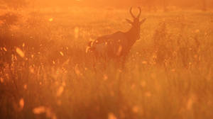 Red Hartebeest - Dreams of Gold