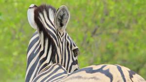 Zebra - Colorful Nature