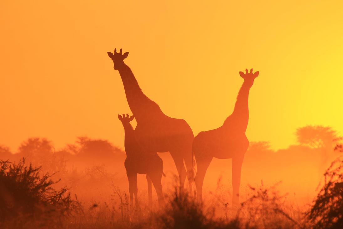 Giraffe Silhouettes - The Golden Family by LivingWild
