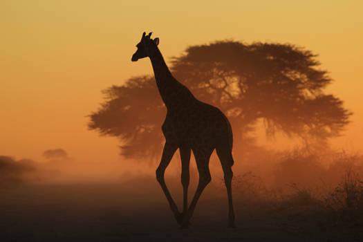 Giraffe Silhouette - Triangles in Nature