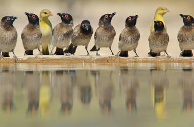 Red Eyed Bulbul - Lined up Colors