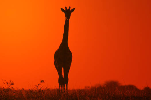Giraffe Silhouette - Minimalism in Nature