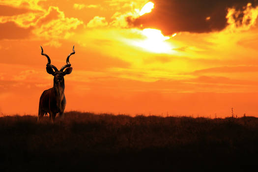 Kudu Bull - Silhouette of an Icon