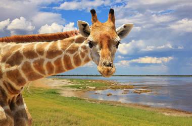 Giraffe Fun - Looking at You