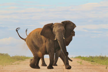 Elephant Emotions - Anger and Power Display