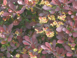 red ornamental bush and flowers 2