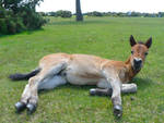 New Forest Foal