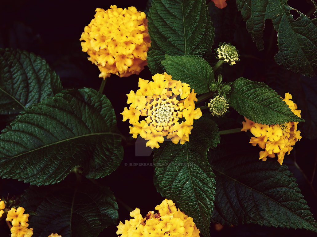 Yellow Lantana by IrisFerrara