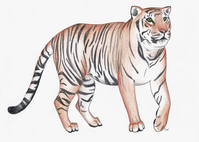 Tiger by Butterflyemily