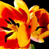 Tulip Blast by melmaya