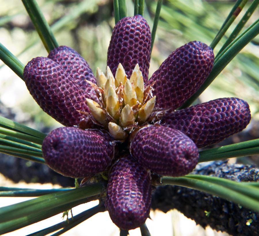 Pine Blossoms by melmaya