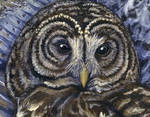Barred Owl Detail
