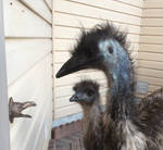 Emus at the Door