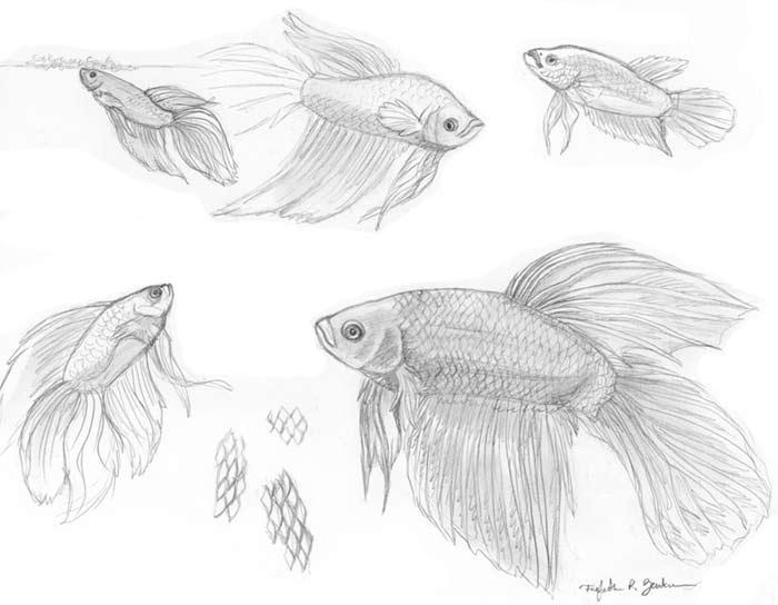 Fish Studies - Betta by Foxfeather248 on DeviantArt  Betta Fish Drawings