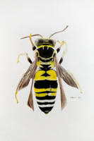 triepeolus simplex, the cuckoo bee by hasanemin