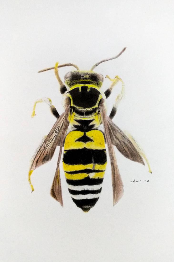 triepeolus simplex, the cuckoo bee