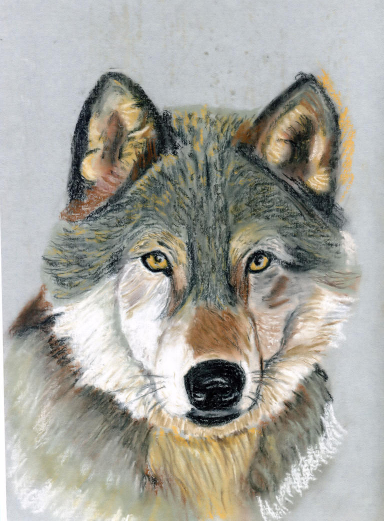 Grey Wolf 09 Pastel by edsart39