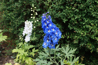 Blue Nile Delphinium by JustJ20