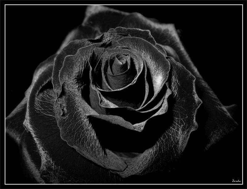 Black Rose By Zardo On DeviantArt