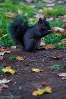 squirrel by CaroFiresoul
