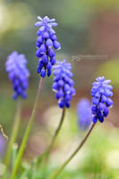blue bells by akthuro