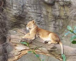 Lion Stock by ValerianaSTOCK