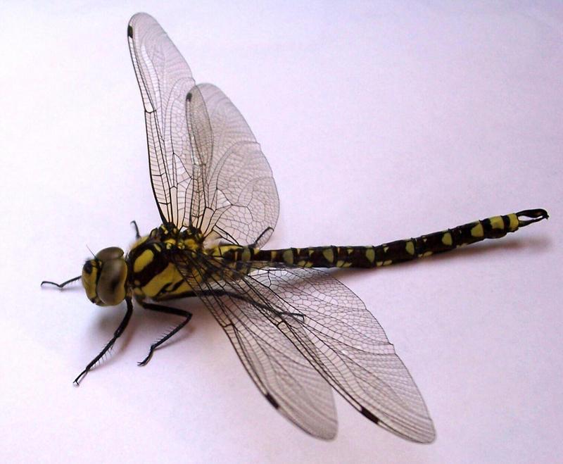 Dragonfly by ValerianaSTOCK