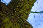 Silk Floss Tree in Glendale CA