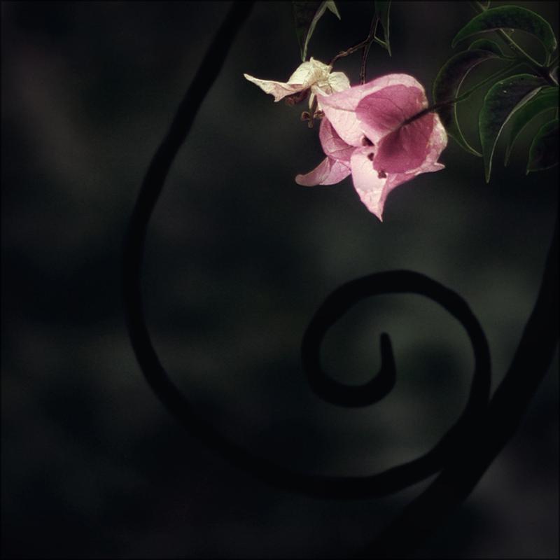 bougainvillea by aglayan-agac