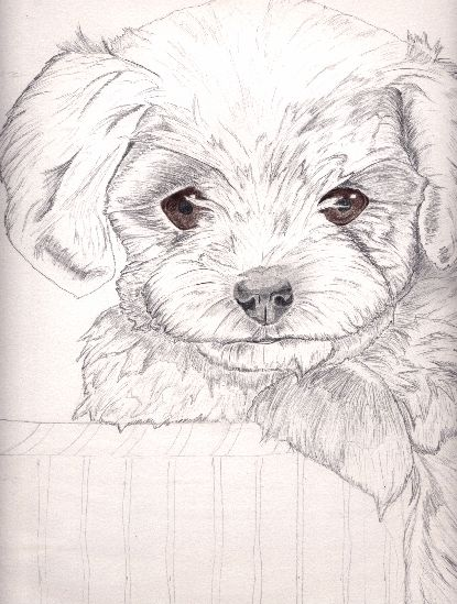 Maltese terrier WIP by xxXX-Carbon-6-XXxx