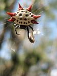 Spiny Orb Weaver Spider