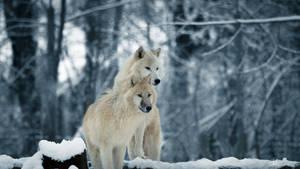 White wolves - Wallpaper