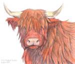 TRB: Highland Cow